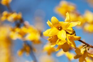 Beautiful yellow blossoms of forsythia bush in garden.